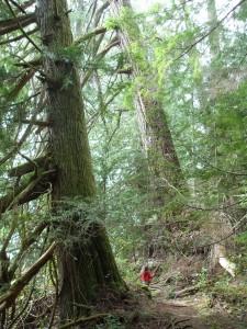 Little girl, big trees