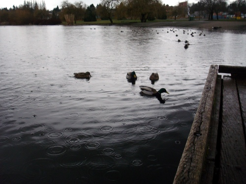 rainy ducks