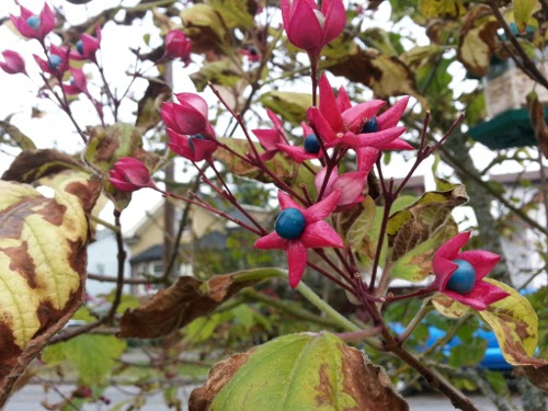 pink and blue autumn flower