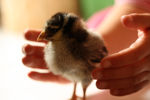 baby chick and girl's hands
