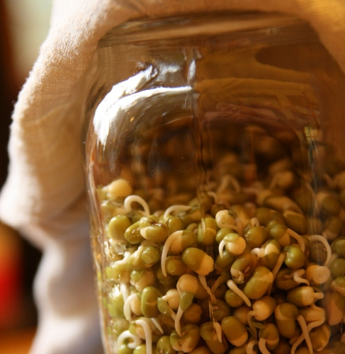 growing bean sprouts